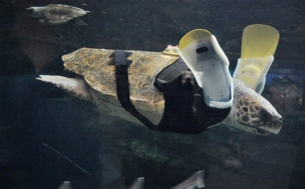 Yu Chan swims again: A sea turtle with prosthetic flippers
